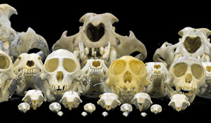 Differences in brain skull size