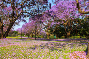 Jacaranda trees - University of Queensland