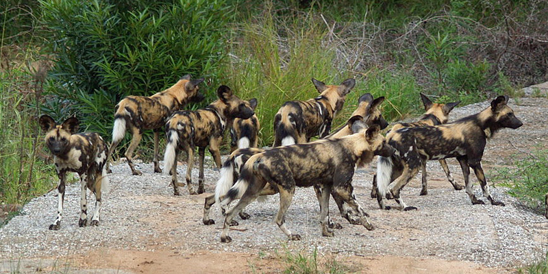 African-wild-dogs