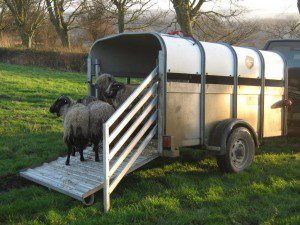 Rescued sheep arriving at the farm.