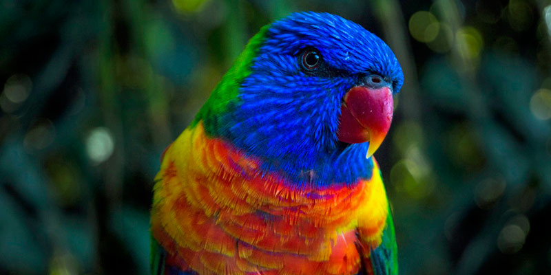 Blue-and-red-parakeet