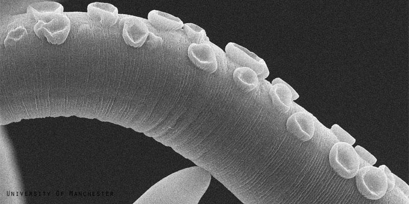 Parasitic worm