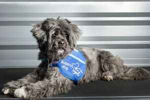 Alfie - Support Dogs