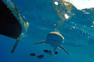 Coxless Crew row - shark