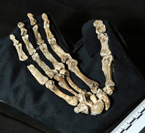 Homo-naledi-hand